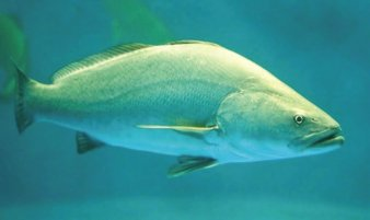 Totoaba Aquaculture And Conservation Hope For An Endangered Fish From Mexicos Sea Of Cortez